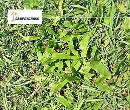 Carpetgrass, Tropical Buffalo, Couch, Turf NT, Turf, Darwin, Buy Turf, Garden, Lawn, Lawn Variety, Grass, Grass Variety, Tropical, Middle POint, Palmerston, Zuccoli, Irrigation,