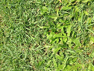 Carpetgrass Pic.jpg