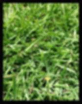 Zoysia Matrella Shadetuff, Turf NT supply turf, lawn darwin, turf dawin, humpty doo, Turf NT Darwin turfnt.com.au Darwin lawn grass turf