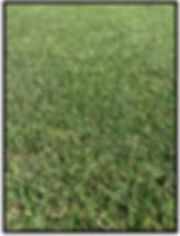 Paddy Grass ET19, Turf NT supply turf, lawn darwin, turf dawin, humpty doo, Turf NT Darwin turfnt.com.au Darwin lawn grass turf