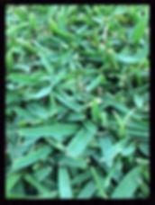 Kings Pride Buffalo, Darwin lawn grass turf