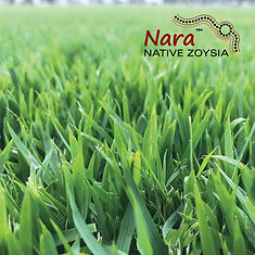 Nara, Nara Zoysia, Nara Native, Nara Native Zoysia, Native, Turf NT, Turf, Darwin, Buy Turf, Garden, Lawn, Lawn Variety, Grass, Grass Variety, Tropical, Middle POint, Palmerston, Zuccoli, Irrigation,