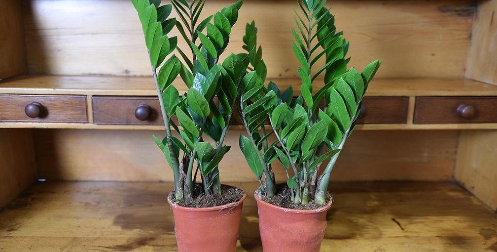 Zamioculas Zamiifolia 50cm