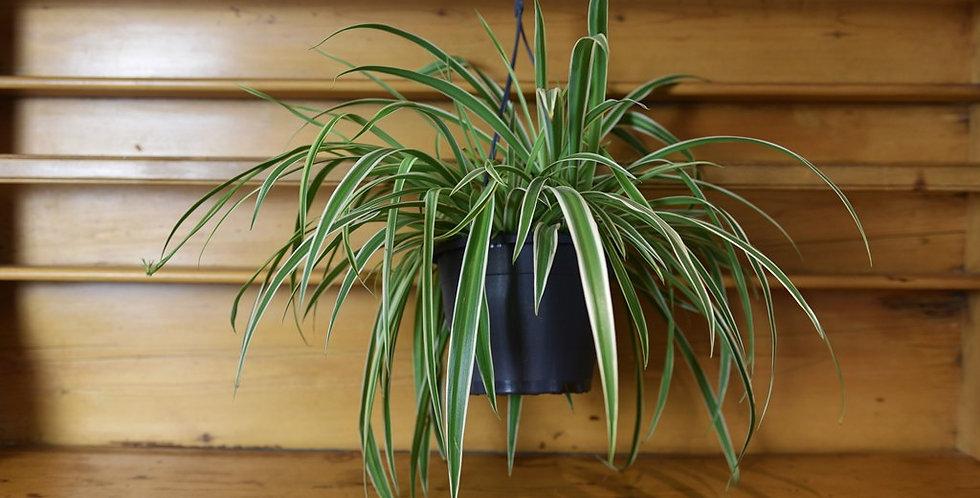 Chlorophytum - Spider Plant