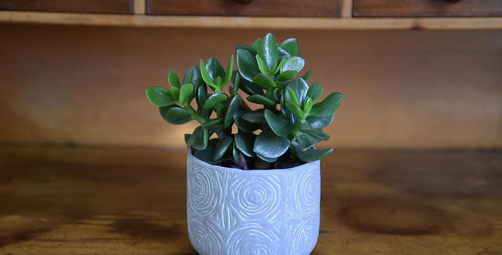 Succulent - Pot included