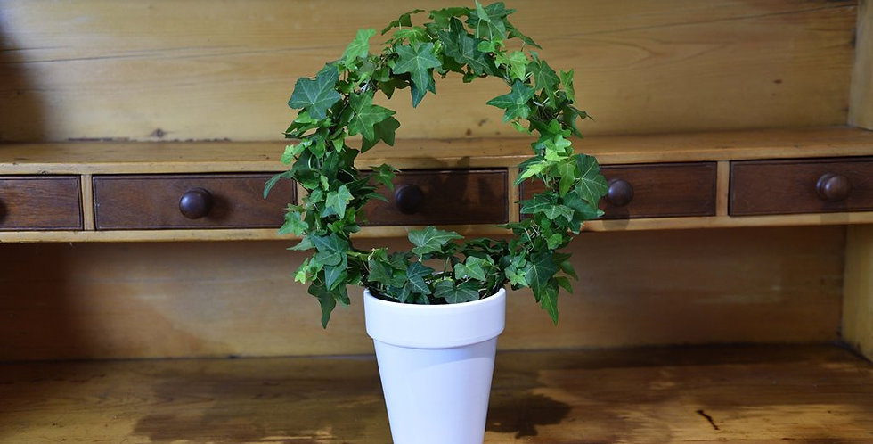 Hedera helix green bow