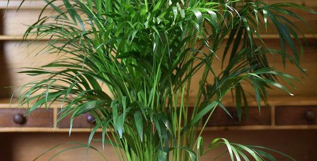 Chrysalidocarpus Lutescens  150 cm