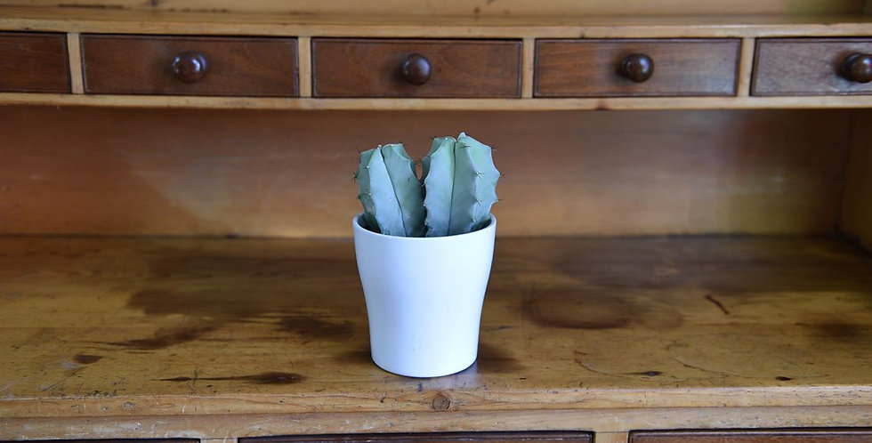 Cacti - Pot included