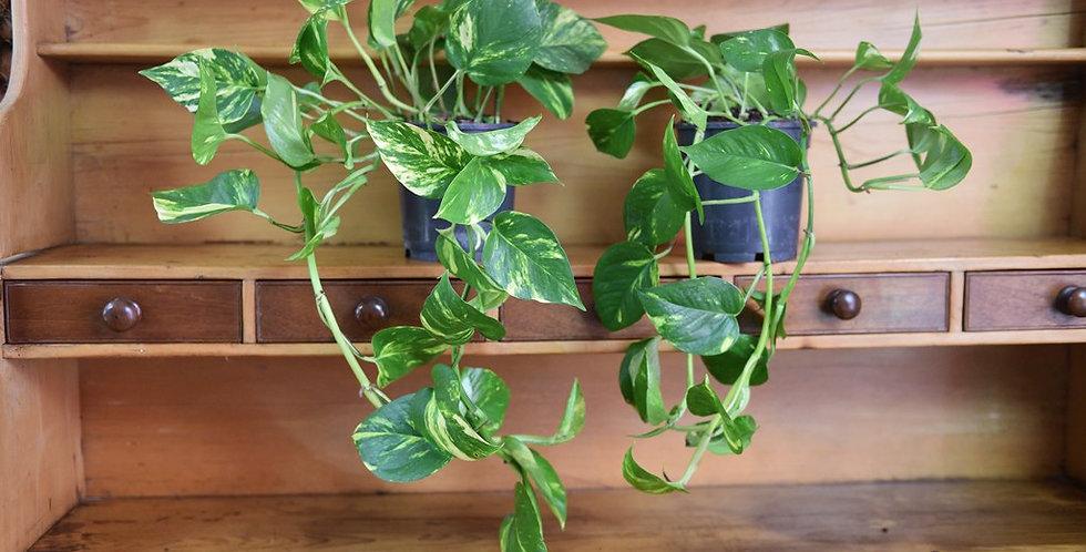 Scindapsus 35 cm Devil's Ivy