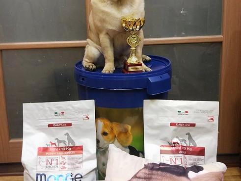 14 октября 2018 г.Новокузнецк Монопородная выставка собак породы Мопс ранг Кчк судья Пирогова И.  ИМ