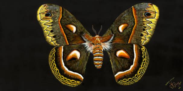 Cecropia Moth