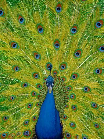 Shimmering Peacock