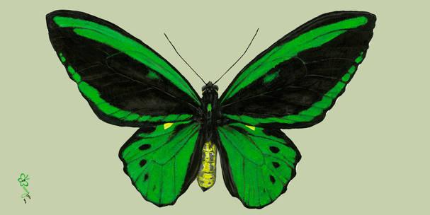 Green Birdwing Butterfly