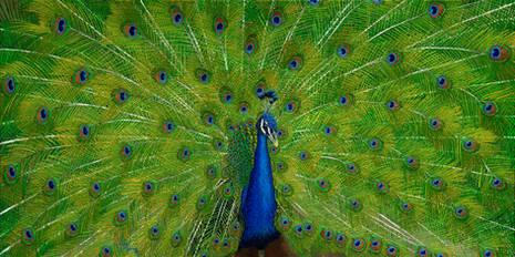 Bold Peacock