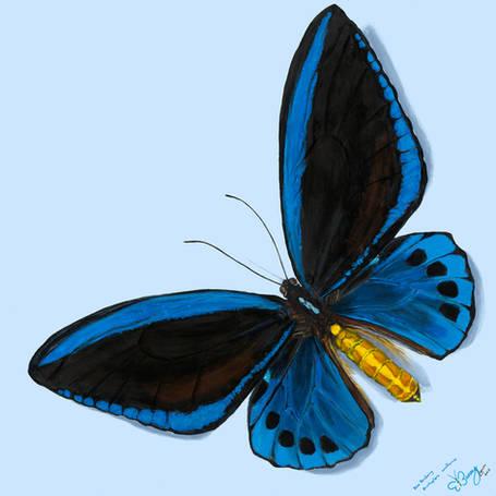 Blue Birdwing