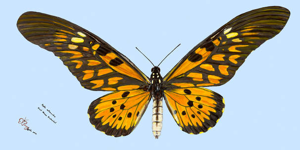 Giant African Swallowtail