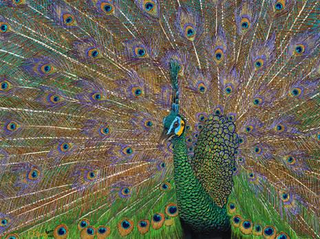 Java Green Peacock