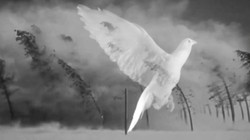 nuclear pigeon