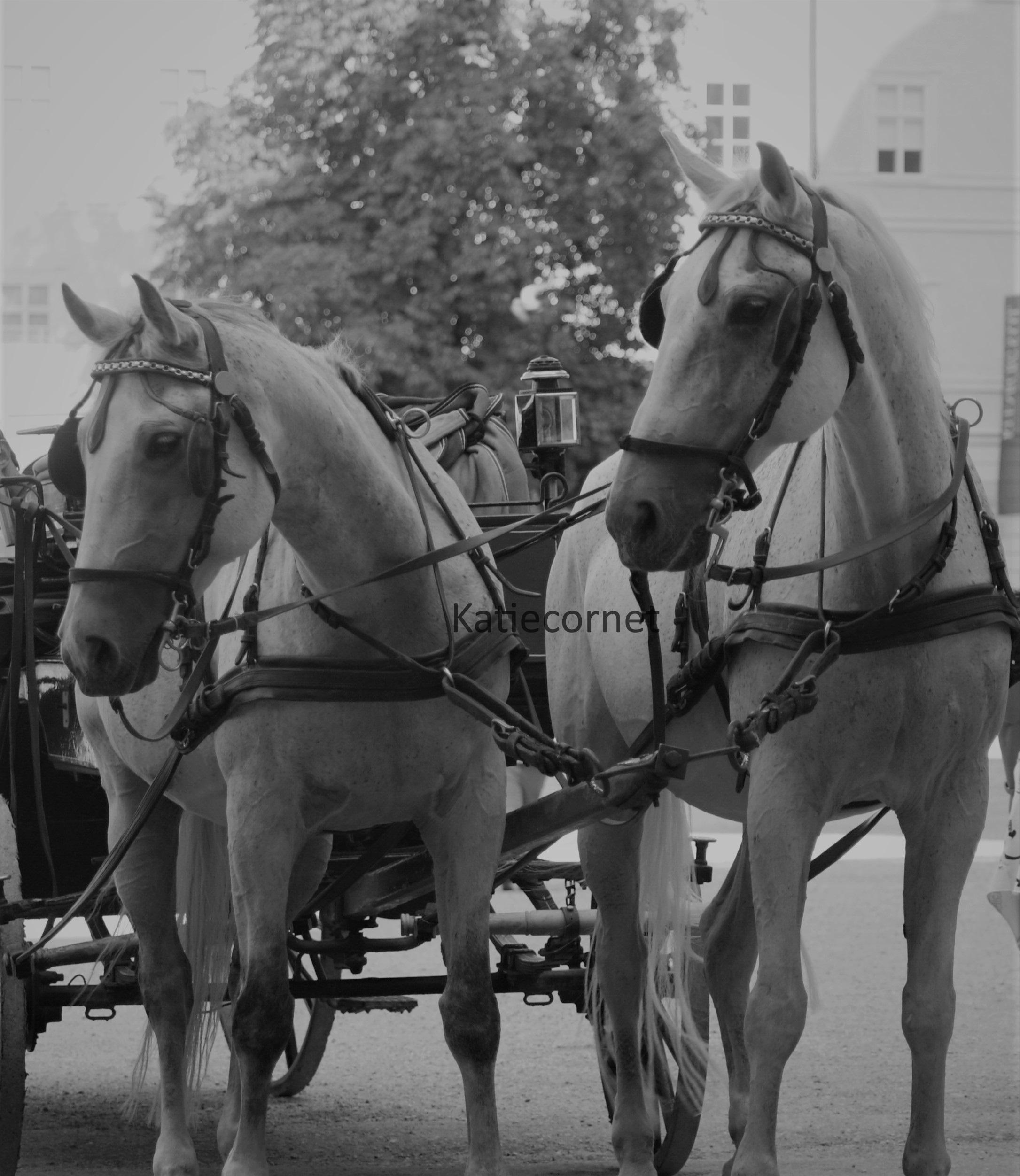 2,10, Salzburg Horses with Fiaker