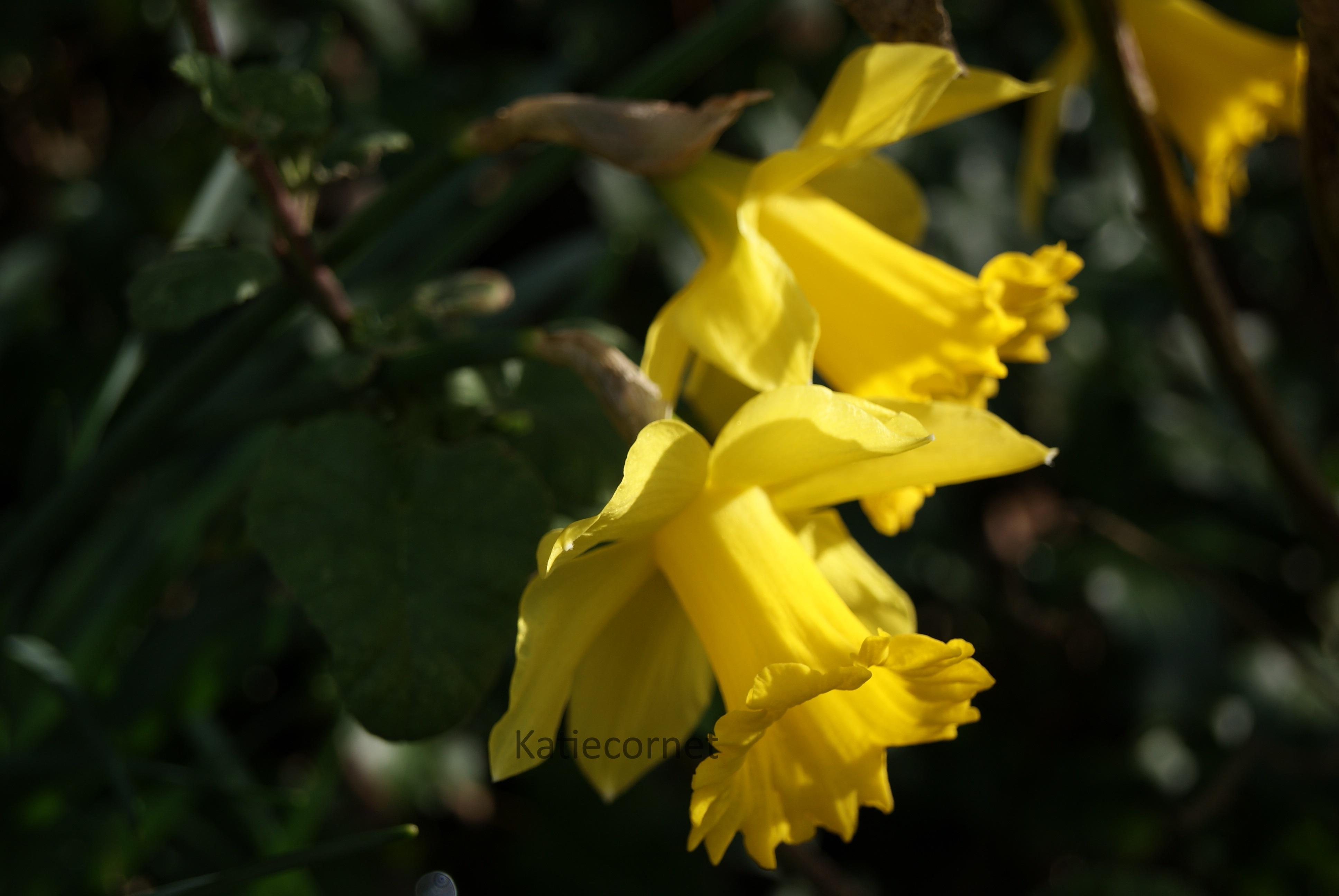 2,16 Divine Daffodils