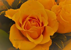 4. Stunning yellow Rose.