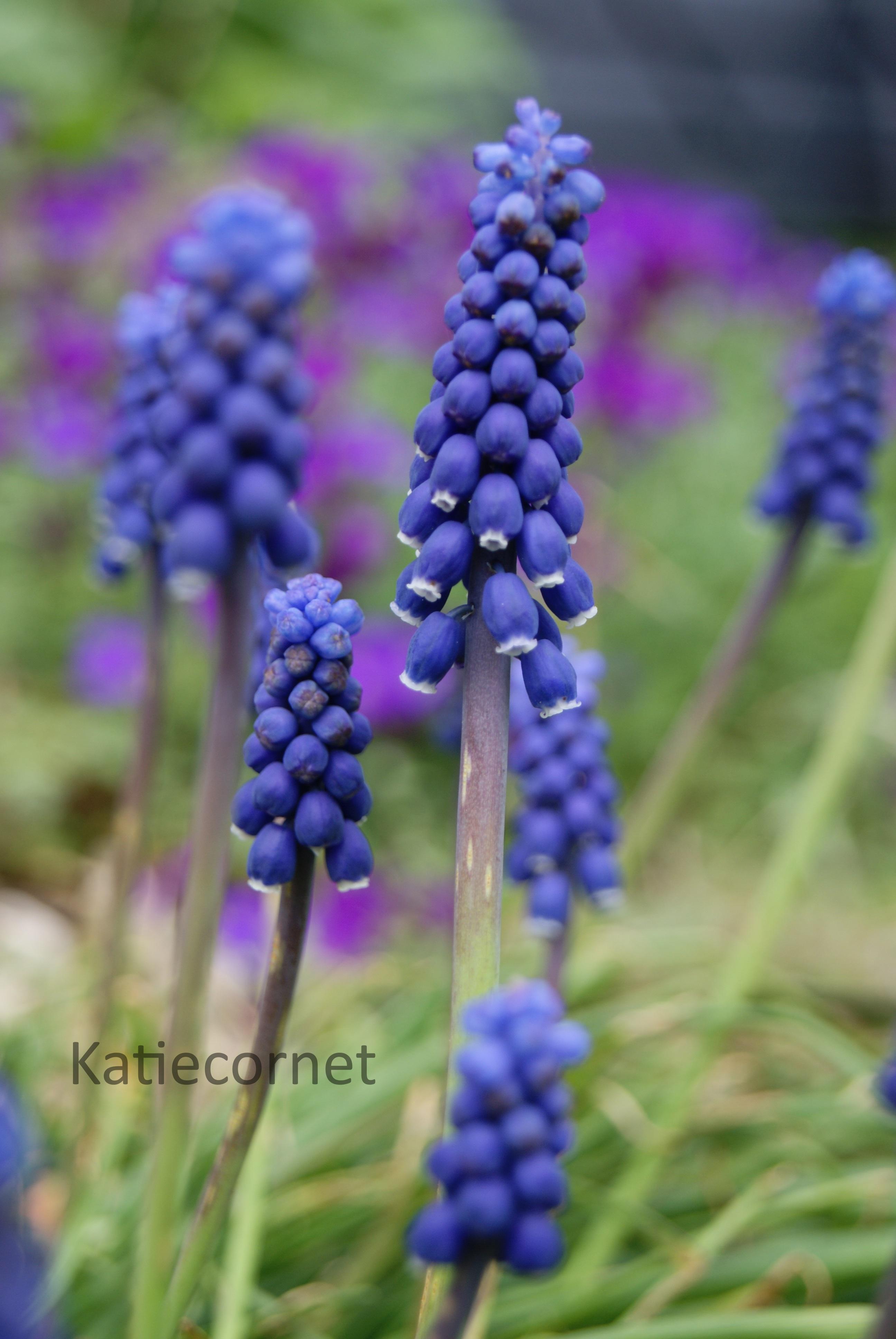 2. Grape Hyacinths
