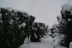 19.Yew Trees laden with snow