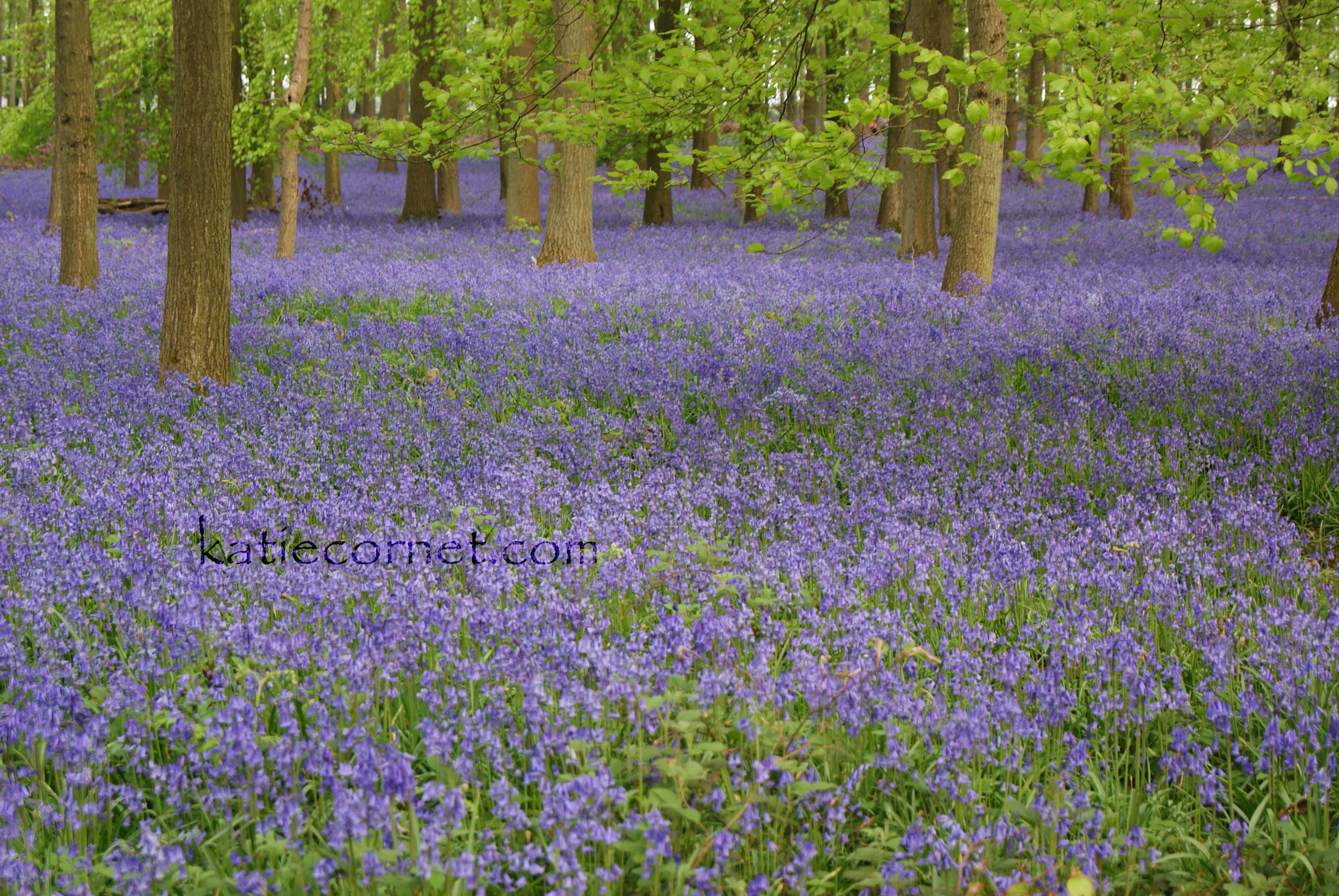 Glorious carpet of bluebells, Dockey Woo