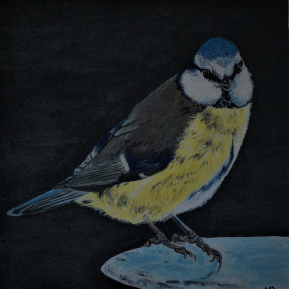 Solitary Blue Tit