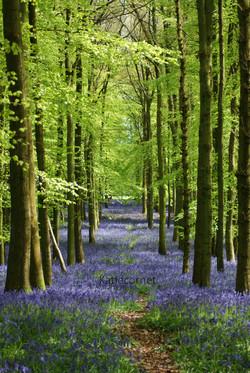 2 Bluebell carpet at Dockey woods.