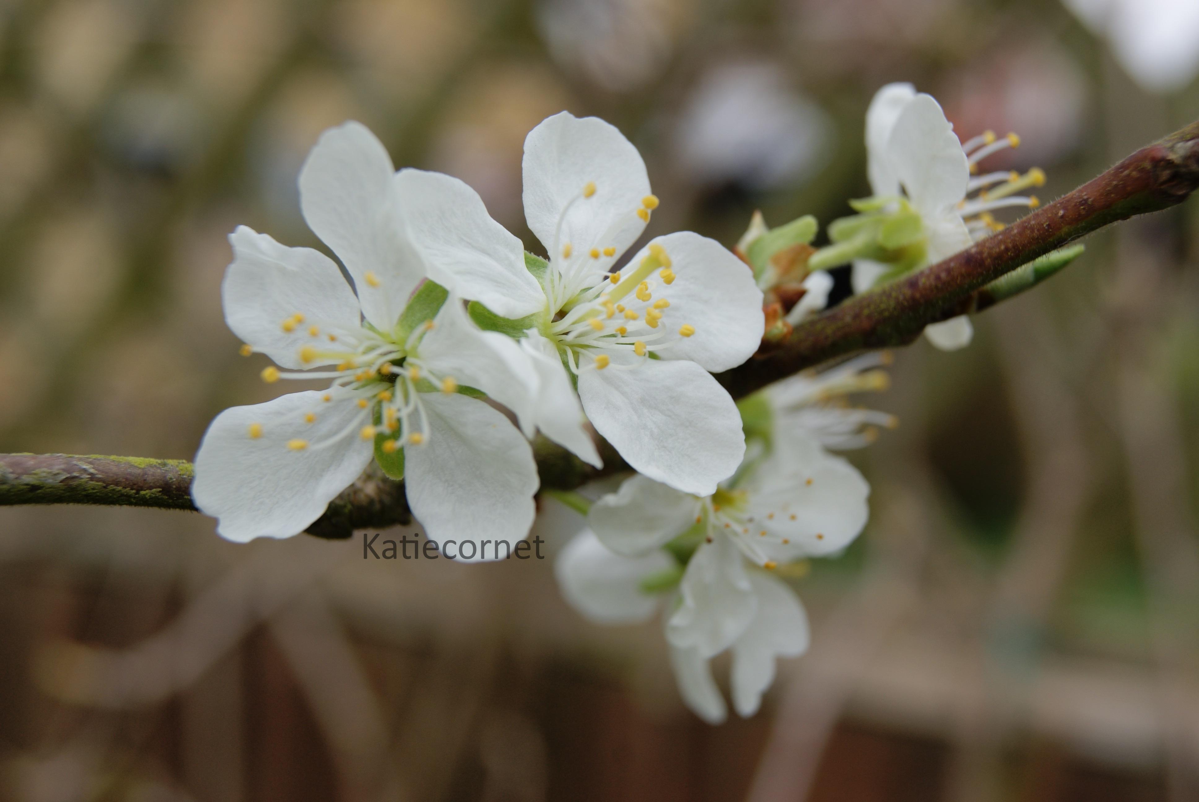 2,15 Apple Blossom