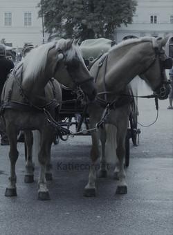 2,14 Bay tinted Fiaker ponies.