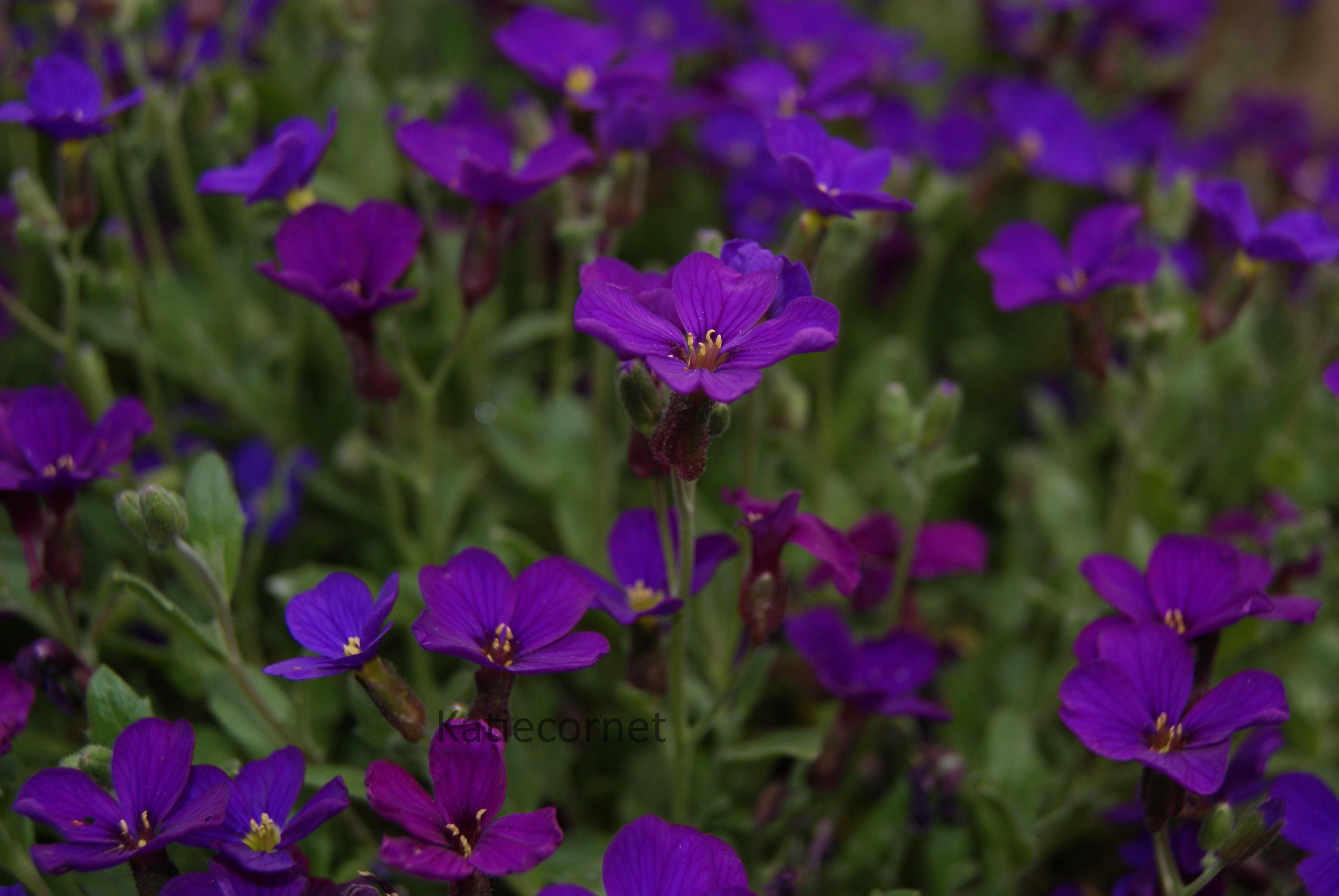 2,17, Violet aubrieta