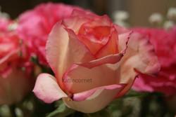 5.Peachy Rose.