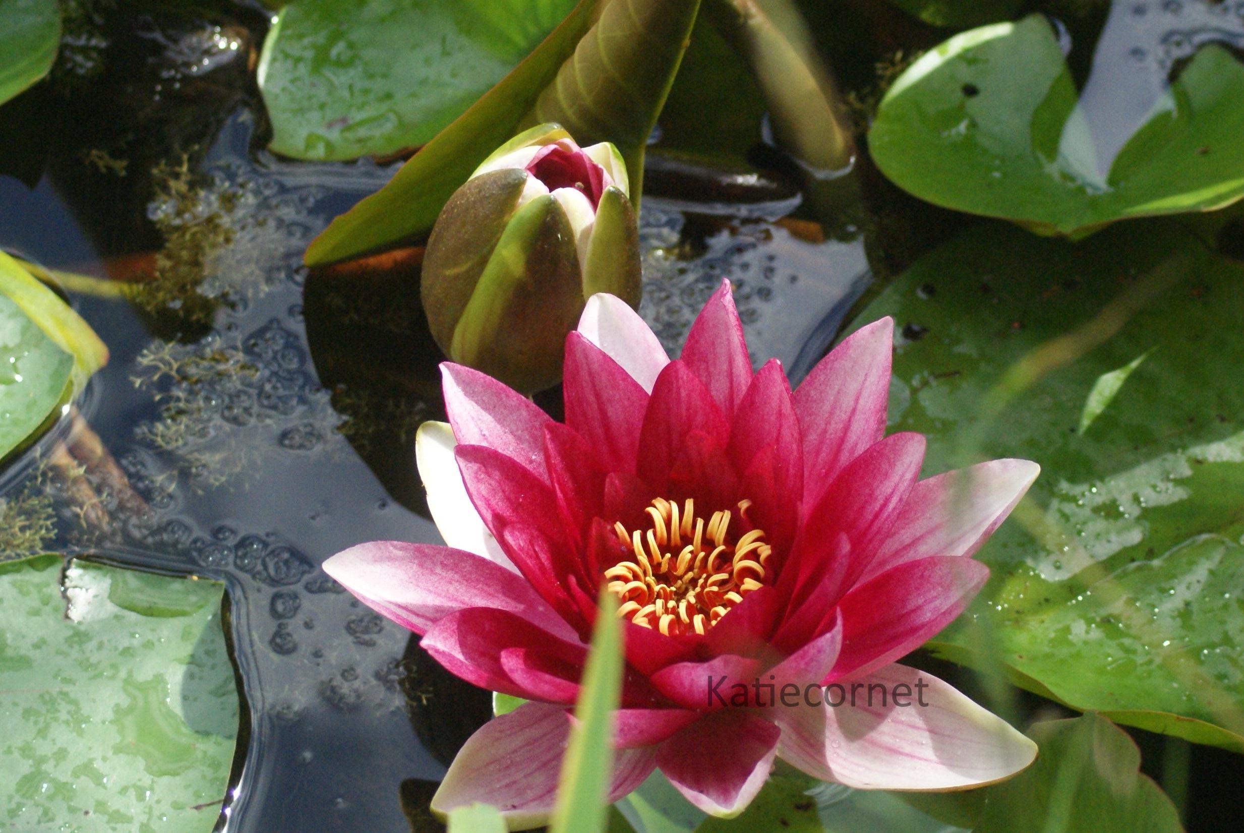 2,4 Stunning single pink lily.