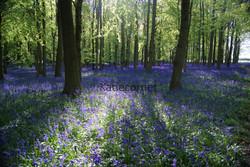 15. Bluebells at Dockey Wood at Dusk