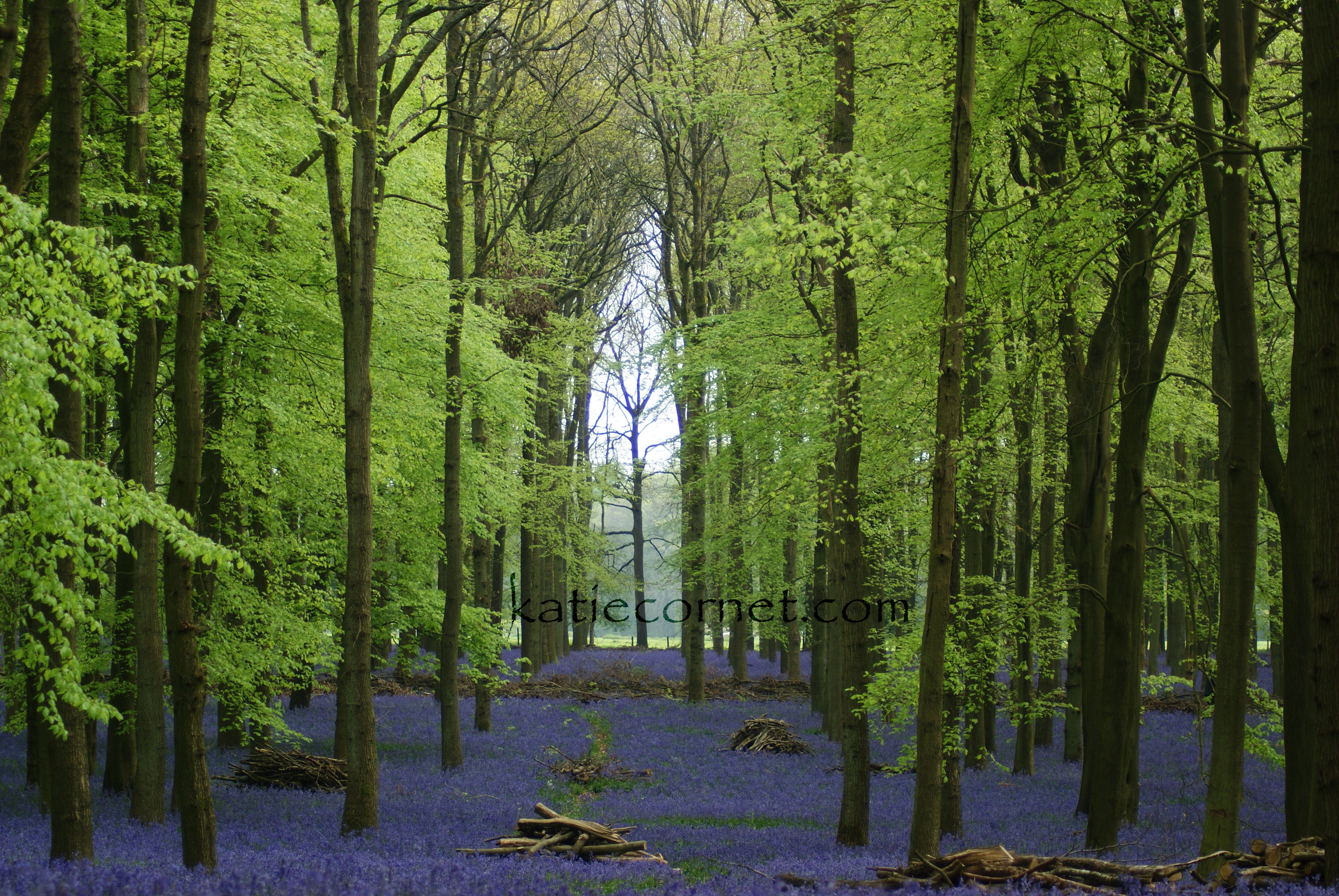 Bluebells at Dockey Woods with Tree Cath