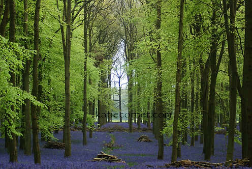 Dockey Woods, Bluebells  in front of Tree Cathedral Window