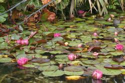 2,2 Pink waterlilies.
