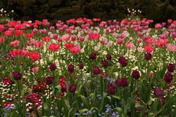 12.Tulips in full bloom