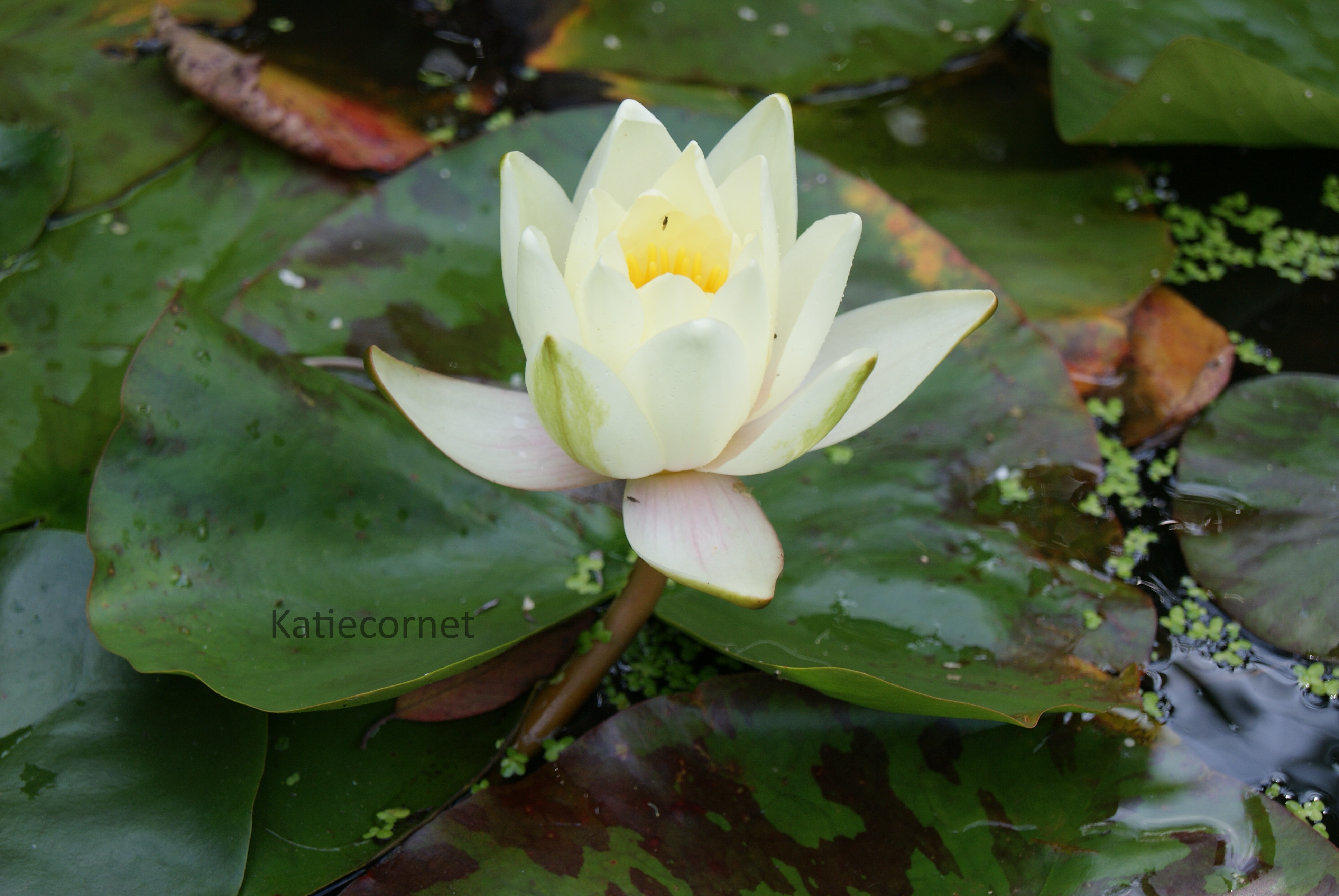 2,3 Single Ivory White Waterlily