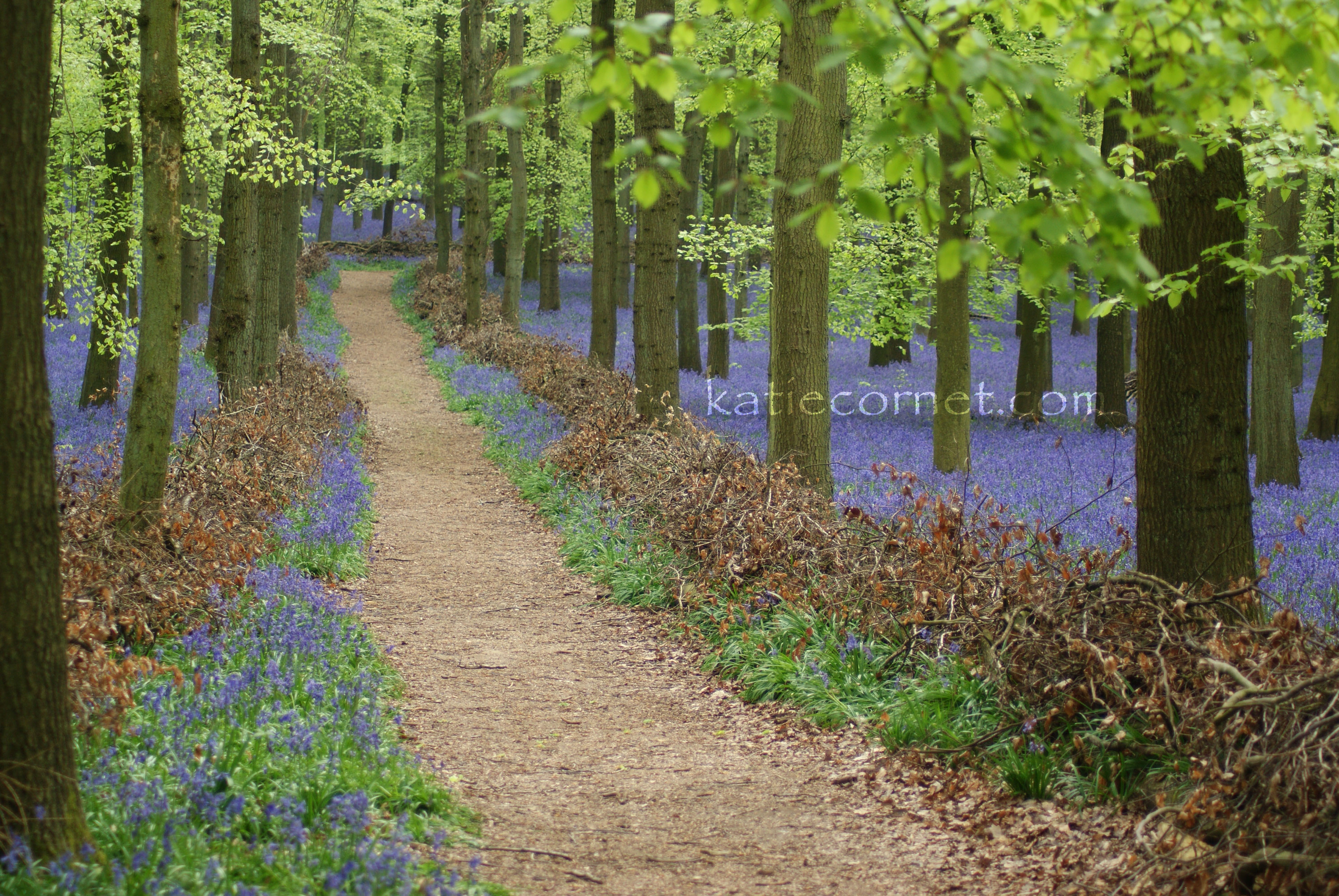 Intriguing path through the Bluebells, D
