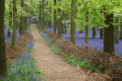 Intriguing path through the Bluebells, D
