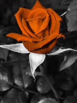 7.Cupid's Rose.