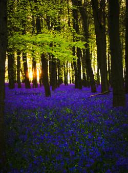 1.Sunset through the Bluebells, Dockey Woo
