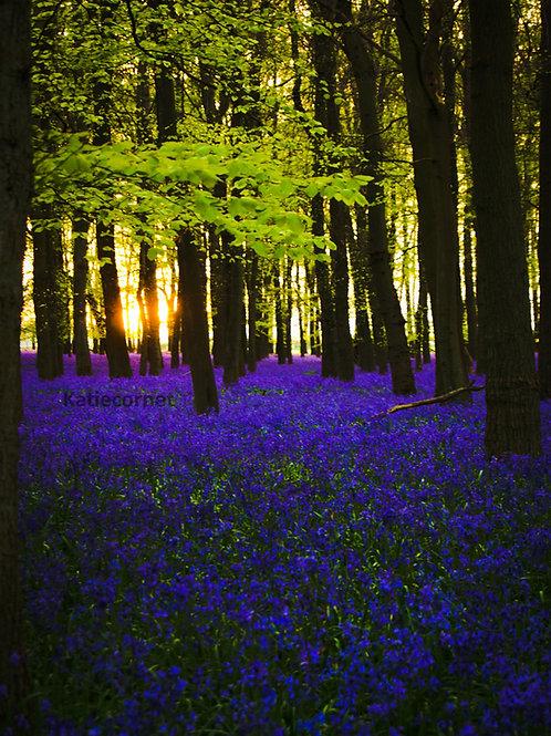 Sunset through Bluebells at Dockey Wood,Ashridge. Large Canvas