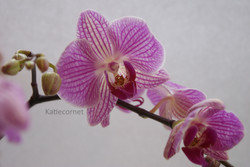 6.Pink Orchid.