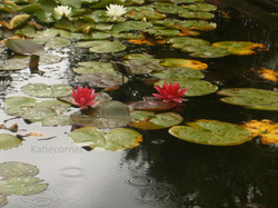 2, 5 Waterlilies with reflection.