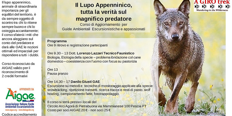 The Apennine Wolf, the whole truth about the magnificent predator