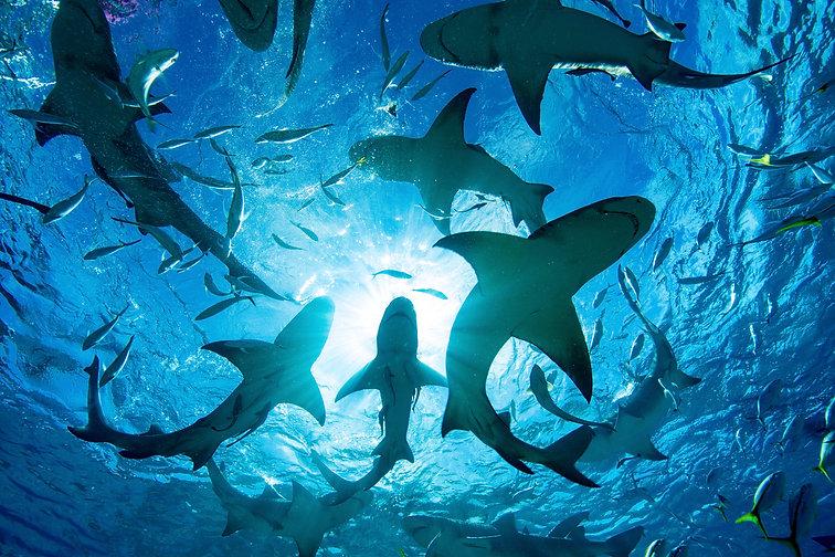 silhouette-of-circling-sharks-WP3BP49.jp